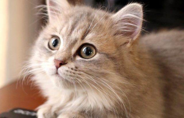 新種のミックス猫、ミヌエット(ナポレオン)ってどんな猫?