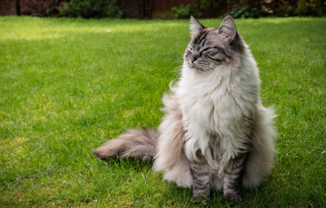 大型の猫の魅力と代表種を紹介します~飼育は本当に難しい?