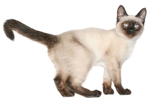 美しい被毛を持つトンキニーズってどんな猫?飼いにくいとされる3つの理由